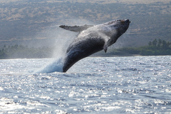 Humpback Whale (Megaptera novaeangliae), breaching out of water near Kona, Big Island, Hawaii © Stuart Westmorland/evolveimages.com
